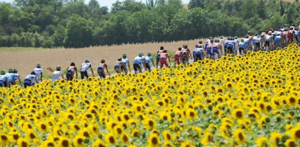 Peloton through the sunflowers