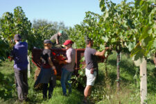 Grape harvest and grape picking season in France is packed with history, ceremony and grape picking festivals. Find out more.