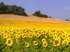 Gascony sunflowers
