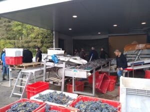The morning's grape harvest in Bordeaux, October 2018