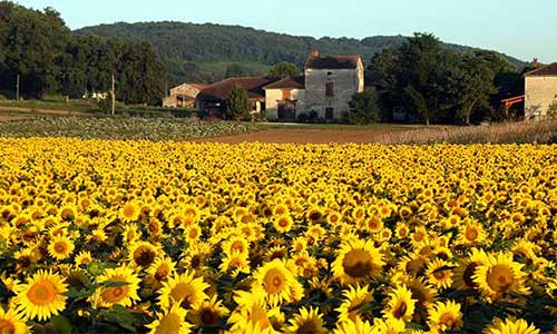 midi-sunflowers-500x300